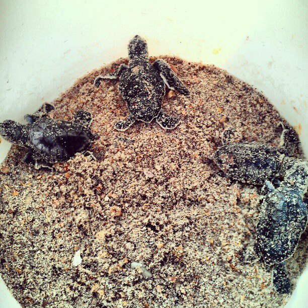 Sea Turtle Hatchlings, Fernandina Beach, Fl
